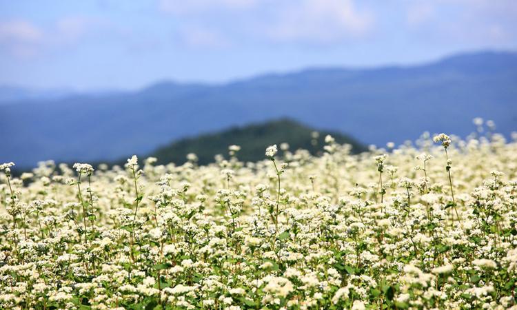 長野県の蕎麦畑