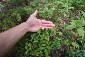 ツツジ科の常緑小低木シラタマノキ
